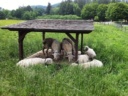 WP Sheep