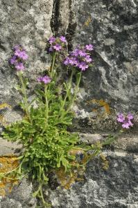 Burren-Flowers
